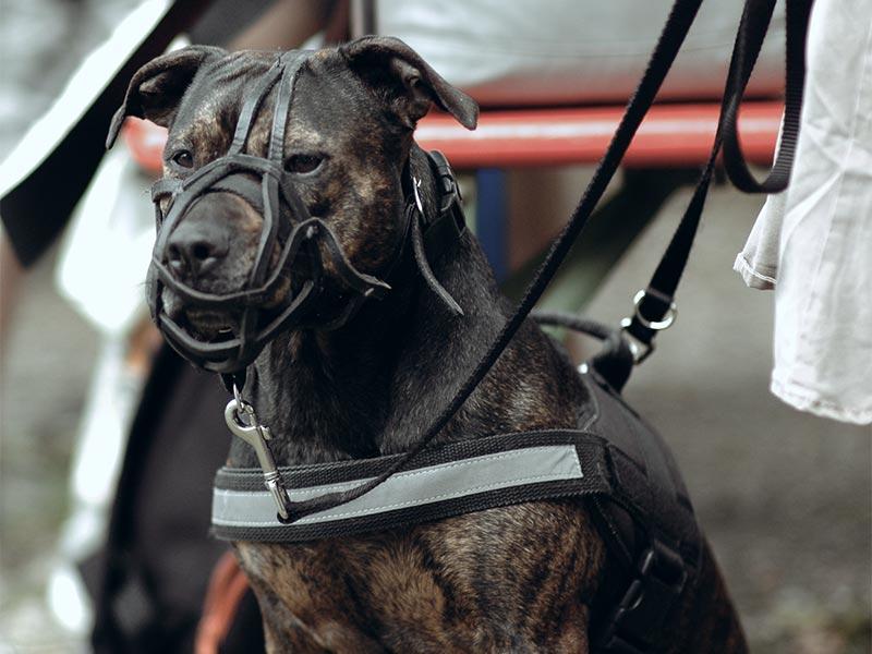 Problemhund mit Maulkorb und Geschirr