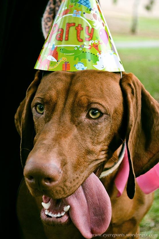 Entspannter Hund während einer Feier mit Knallerei und Feuerwerk
