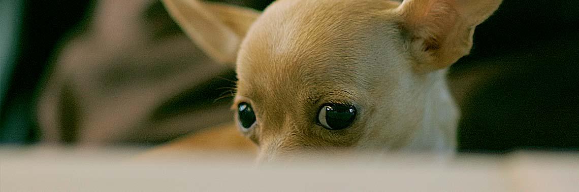 Ängstlicher Chihuahua während Feuerwerk und Knallerei an Silvester.
