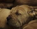 Einer von 14 zu vermittelnden Bloodhound Welpen aus Meerbusch