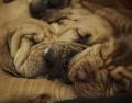 Eine Gruppe der vermittelnden Bloodhound Welpen aus Meerbusch