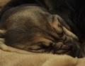 schlafender Bloodhound Welpe aus Meerbusch