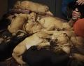 Die zu vermittelnden Bloodhound Welpen aus Meerbusch mit Besitzerin