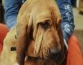 Die Mutter der zu vermittelnden Bloodhound Welpen aus Meerbusch